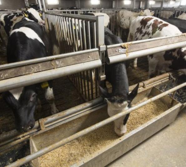 Koe bij voederbak